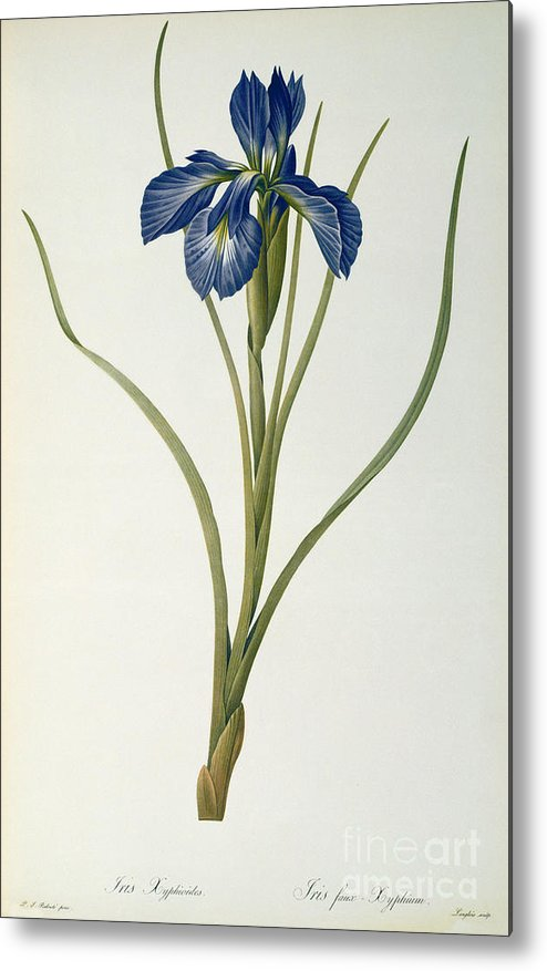 Iris Metal Print featuring the painting Iris Xyphioides by Pierre Joseph Redoute