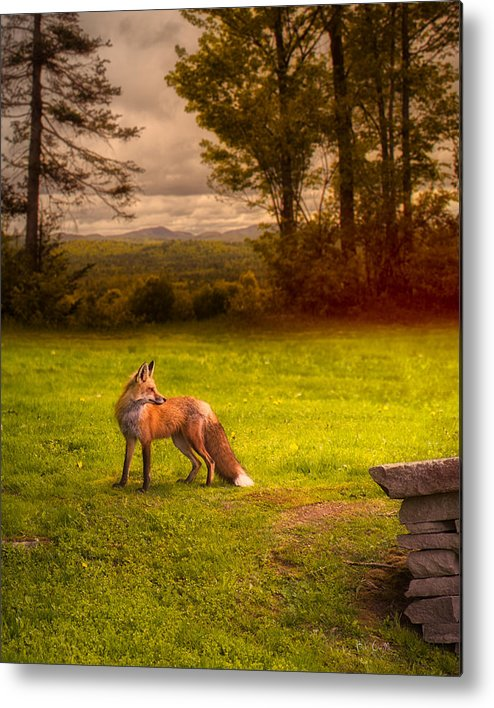 Fox Metal Print featuring the photograph One Red Fox by Bob Orsillo