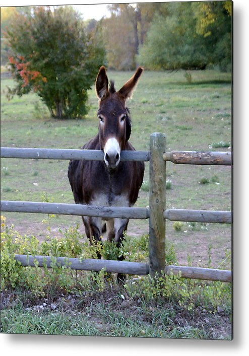 Donkey Metal Print featuring the photograph Donkey At The Fence by D Winston