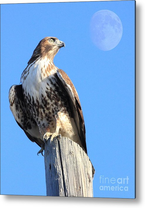 Red Tail Hawk Metal Print featuring the photograph Red Tailed Hawk And Moon by Wingsdomain Art and Photography