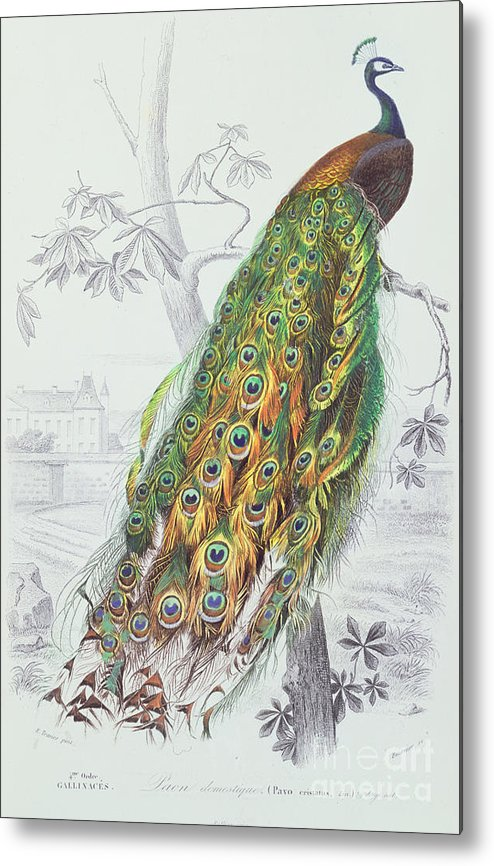 Peacock Metal Print featuring the painting The Peacock by A Fournier
