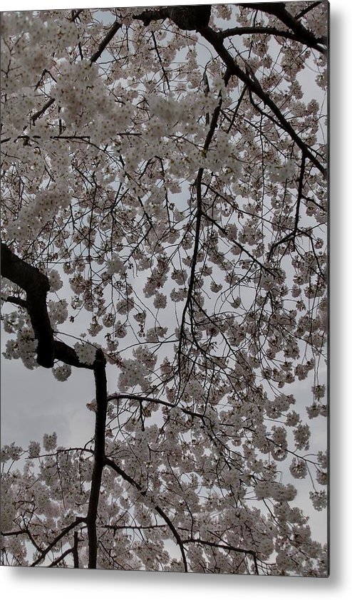 America Metal Print featuring the photograph Cherry Blossoms - Washington Dc - 011342 by DC Photographer