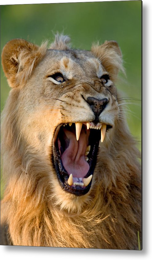 South Metal Print featuring the photograph Lion by Johan Swanepoel