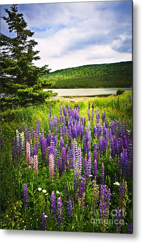 Flowers Metal Print featuring the photograph Lupin Flowers In Newfoundland by Elena Elisseeva