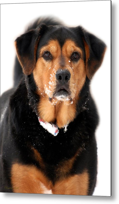 Black Lab Metal Print featuring the photograph Attentive Labrador Dog by Christina Rollo