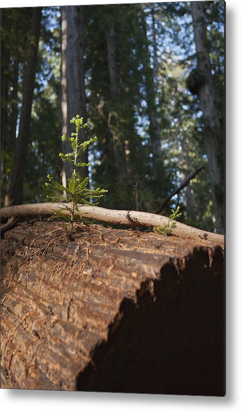 Sequoia Sempervirens (pronounced /sɨˈkɔɪ.ə Sɛmpərˈvaɪrənz/)[1] Is The Sole Living Species Of The Genus Sequoia In The Cypress Family Cupressaceae (formerly Treated In Taxodiaceae). Common Names Include Coast Redwood Metal Print featuring the photograph Baby Redwood by Joel Moranton