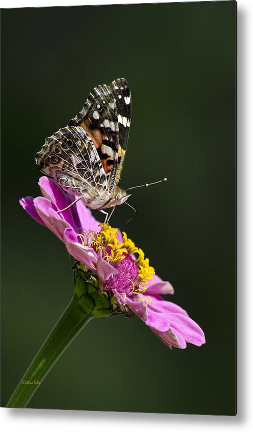 Animal Metal Print featuring the photograph Butterfly Blossom by Christina Rollo