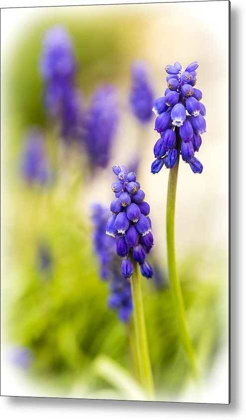 Grape Hyacinth Metal Print featuring the photograph Fading by Caitlyn Grasso