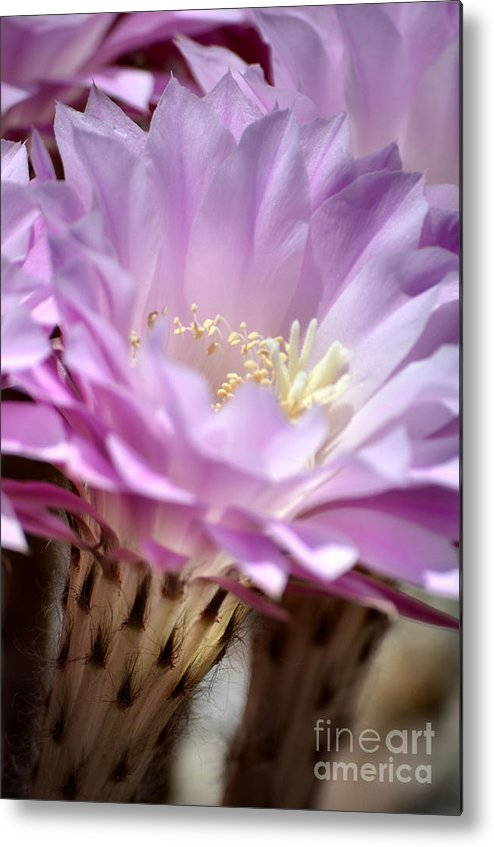 Cactus Flowers Metal Print featuring the photograph Fragile Beauty by Deb Halloran