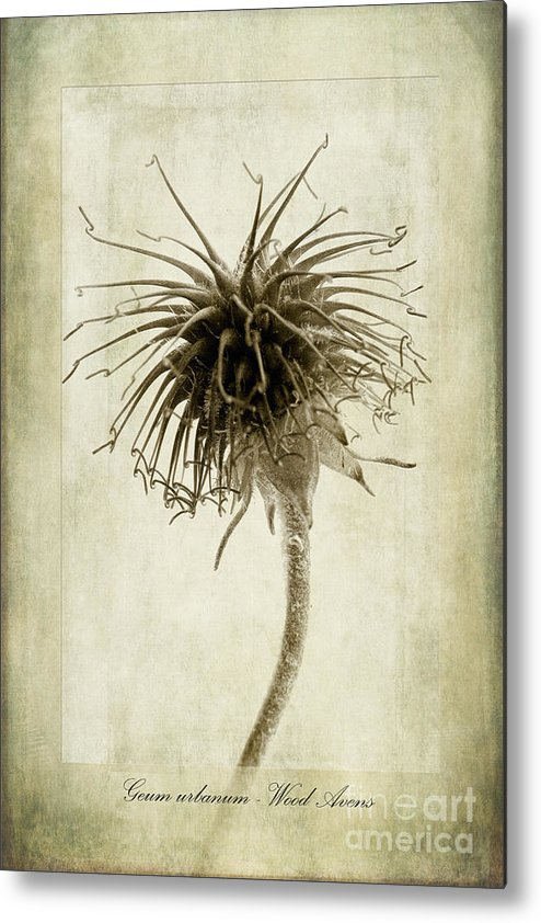 Wood Avens Metal Print featuring the photograph Geum Urbanum In Sepia by John Edwards