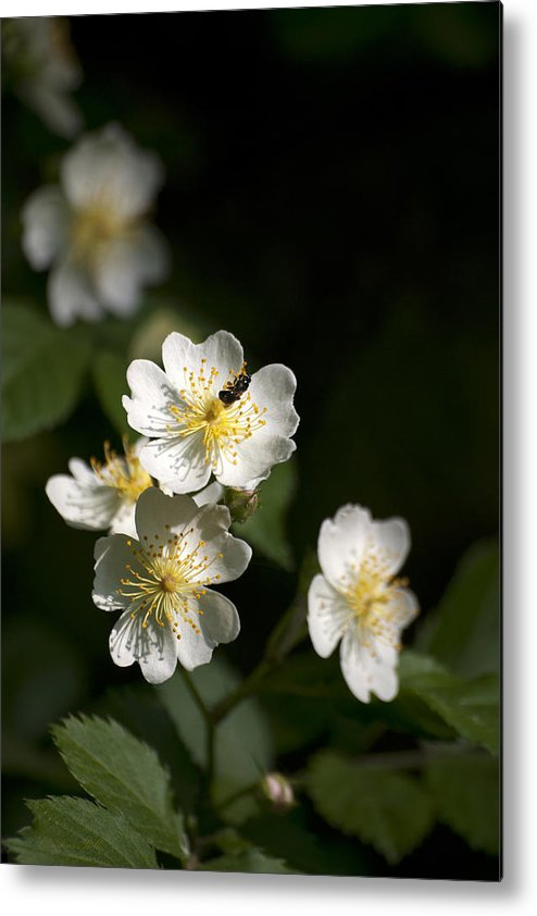 Flower Metal Print featuring the photograph Heaven's Scent by Christina Rollo