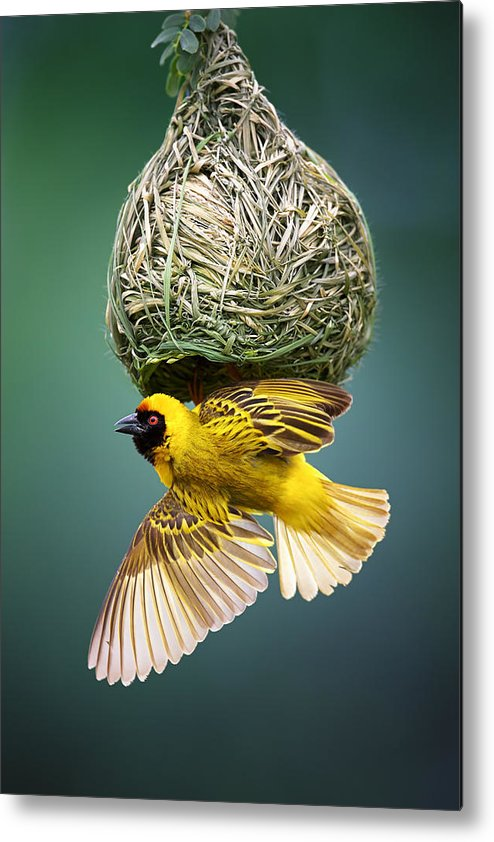 Africa Metal Print featuring the photograph Masked Weaver At Nest by Johan Swanepoel