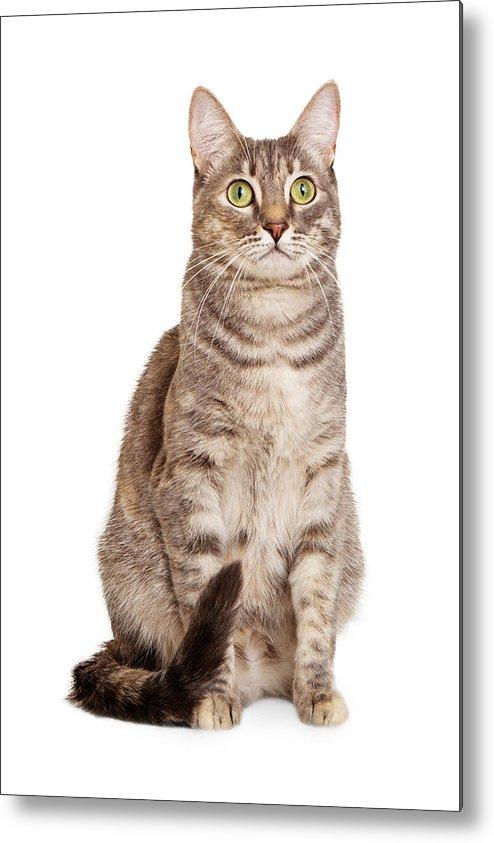 Cat Metal Print featuring the photograph Sitting Gray Tabby Cat by Susan Schmitz