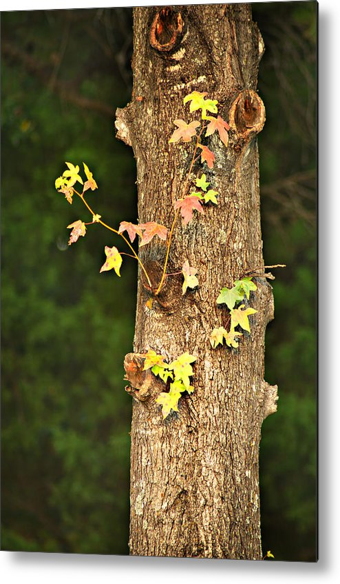 Autumn Metal Print featuring the photograph 1209-0859 September Tease by Randy Forrester