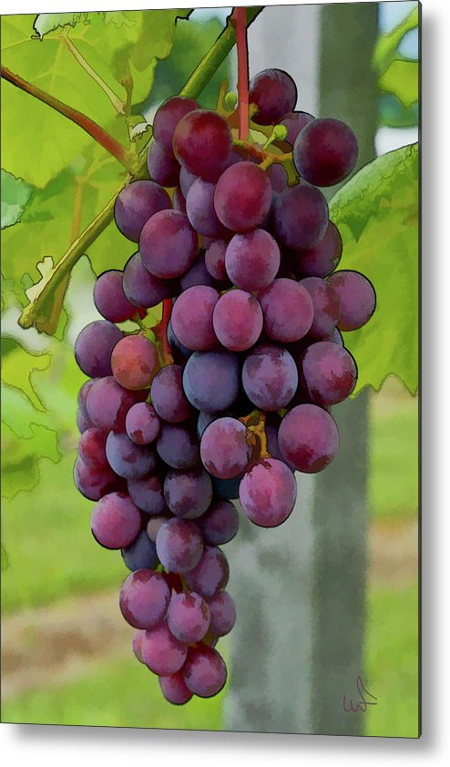 Grapes Metal Print featuring the photograph August Grapes by Michael Flood
