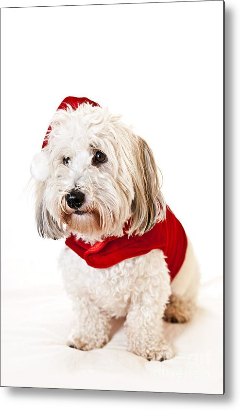 Dog Metal Print featuring the photograph Cute Dog In Santa Outfit by Elena Elisseeva