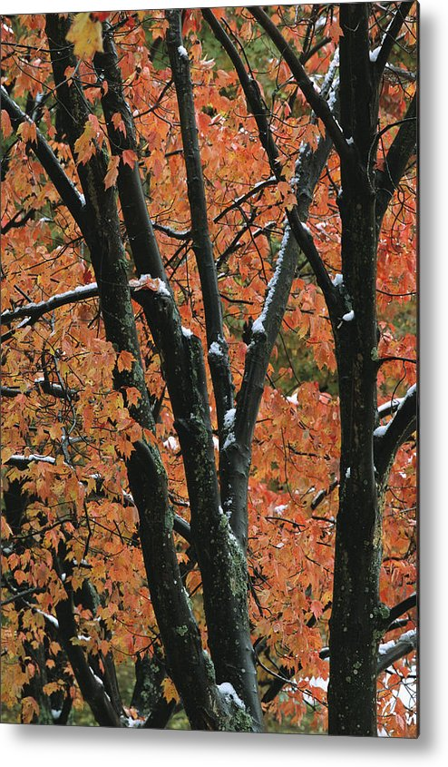 Outdoors Metal Print featuring the photograph Fall Foliage Of Maple Trees After An by Tim Laman