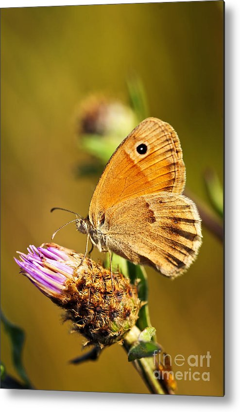 Butterfly Metal Print featuring the photograph Meadow Brown Butterfly by Elena Elisseeva