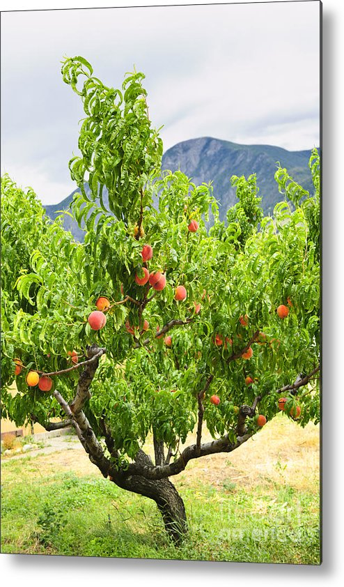 Peaches Metal Print featuring the photograph Peaches On Tree by Elena Elisseeva
