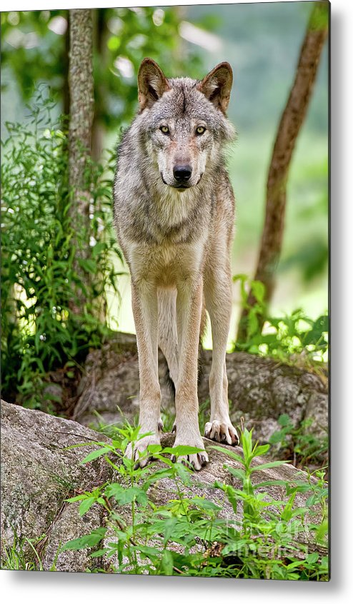 Michael Cummings Metal Print featuring the photograph Timber Wolf by Michael Cummings