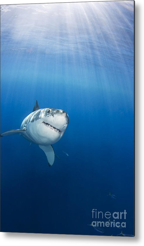 Animal Art Metal Print featuring the photograph Beautiful Great White by Dave Fleetham - Printscapes