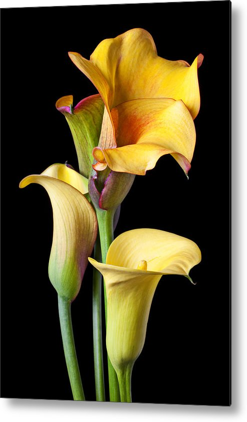 Calla Lily Metal Print featuring the photograph Four Calla Lilies by Garry Gay
