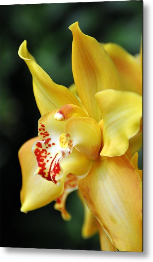 Orchid Metal Print featuring the photograph Orchid 24 by Marty Koch