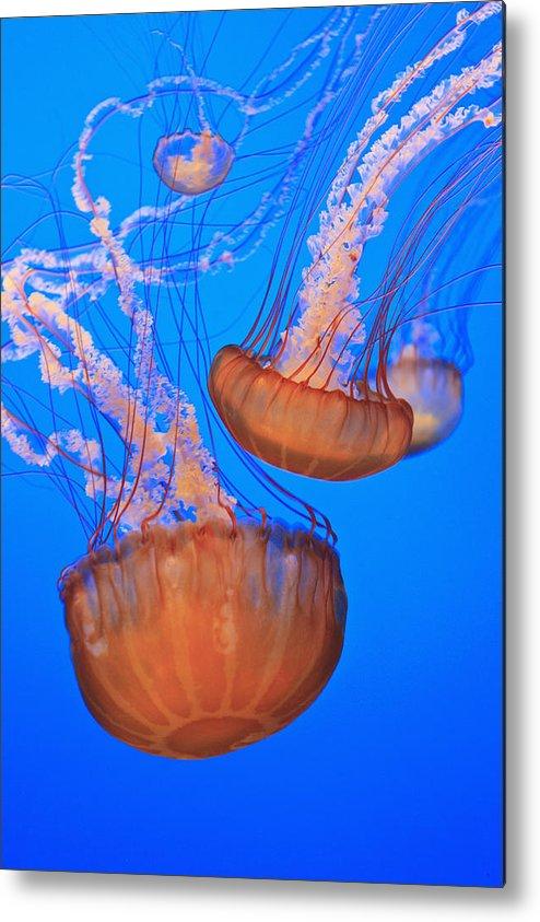 Aquarium Metal Print featuring the photograph Sea Nettles Chrysaora Fuscescens In by Stuart Westmorland