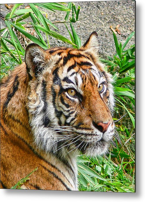 Tiger Metal Print featuring the photograph Tiger Portrait by Jennie Marie Schell