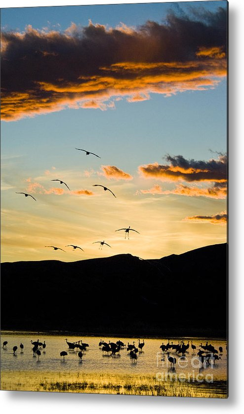 Nature Metal Print featuring the photograph Sandhill Cranes In New Mexico by William H Mullins