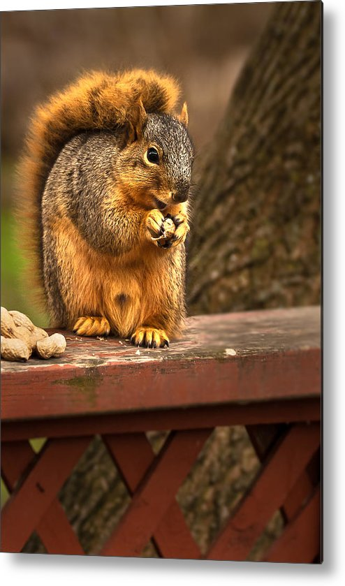 Eastern Fox Squirrel Metal Print featuring the photograph Squirrel Eating A Peanut by Onyonet Photo Studios