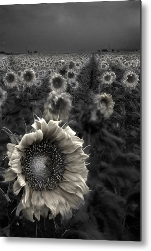 Featured Art Metal Print featuring the photograph Haunting Sunflower Fields 1 by Dave Dilli