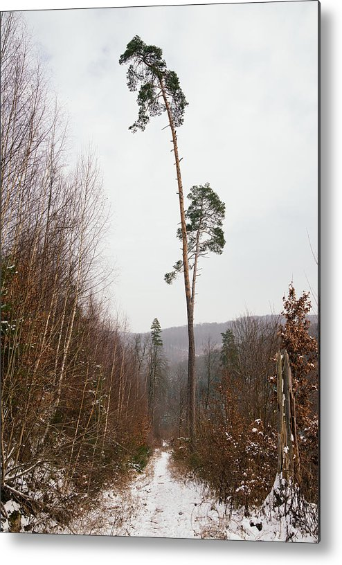 Winter Metal Print featuring the photograph Large Trees In The Nature Park In Winter by Matthias Hauser