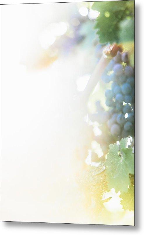 Fine Art Metal Print featuring the photograph The Modern Grape 3 by Clint Brewer