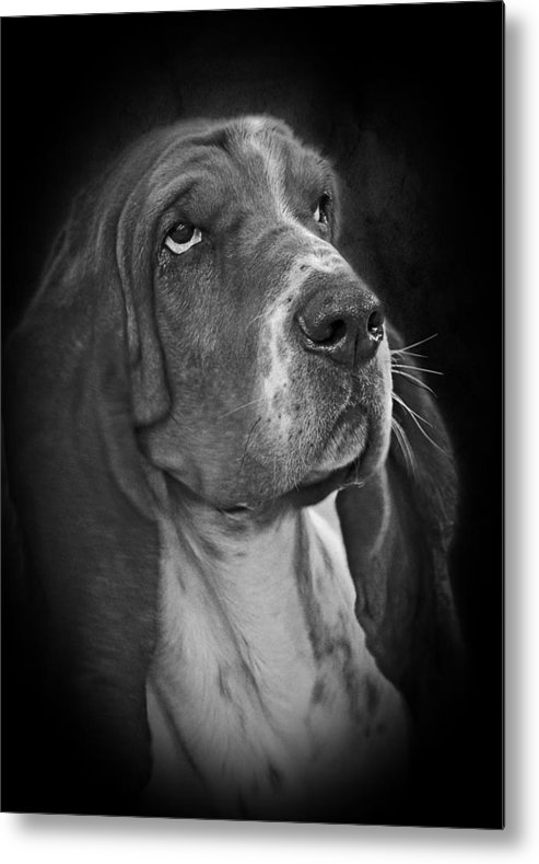 Bassets Metal Print featuring the photograph Cute Overload - The Basset Hound by Christine Till