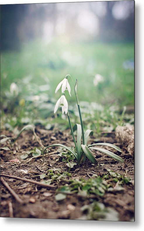 Spring Metal Print featuring the photograph Spring Rising by Heather Applegate