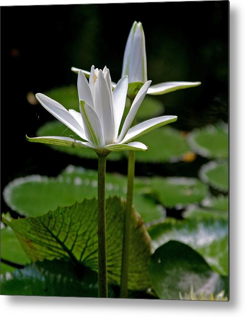 White Water Lilies Metal Print featuring the photograph White Water Lily by Lisa Spencer