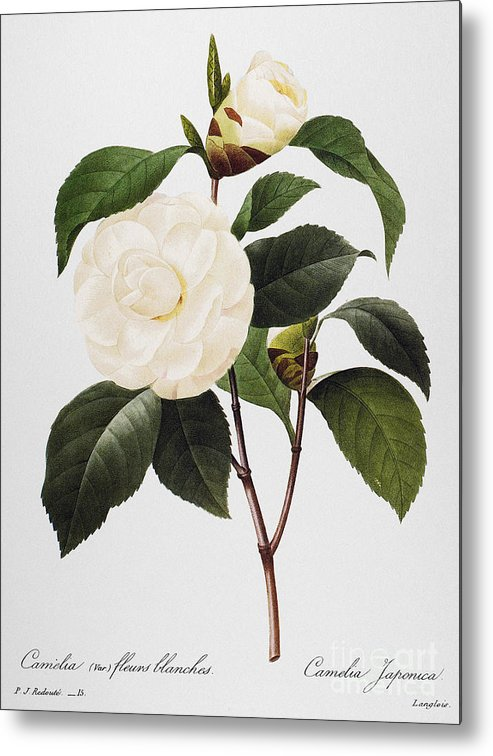 1833 Metal Print featuring the photograph Camellia, 1833 by Granger