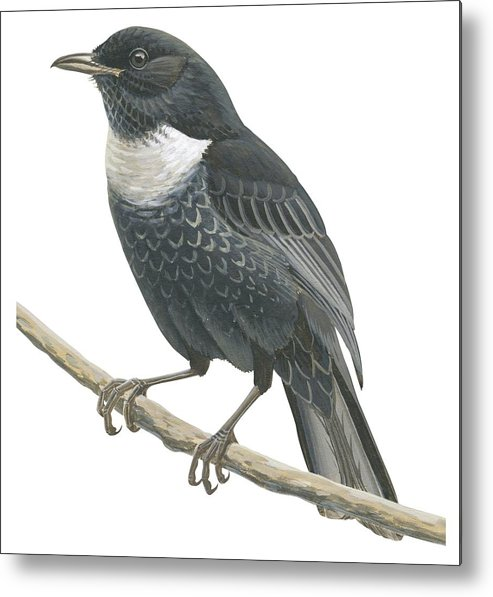 No People; Square Image; Side View; Full Length; One Animal; Animal Themes; Nature; Wildlife; Beauty In Nature; Ring-ouzel; Turdus Torquatus; Perching; Twig; Black; White Metal Print featuring the drawing Ring Ouzel by Anonymous