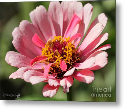 Mccombie Metal Print featuring the photograph Zinnia From The Whirlygig Mix by J McCombie