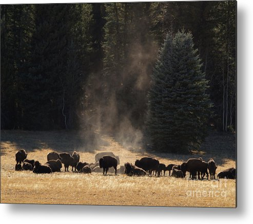 Landscape Metal Print featuring the photograph North Rim Bison Of The Grand Canyon by Alex Cassels