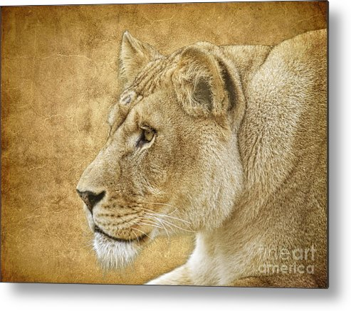 Lion Metal Print featuring the photograph On Target by Steve McKinzie