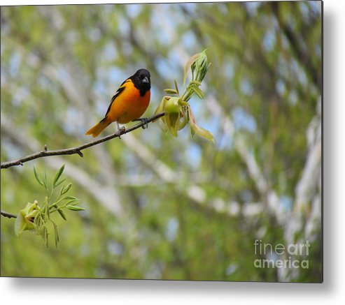 Baltimore Oriole Metal Print featuring the photograph Oriole by Randi Shenkman
