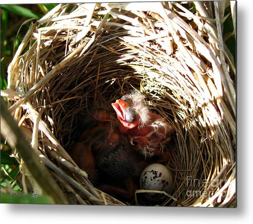 Nest Metal Print featuring the photograph Red-winged Blackbird Babies And Egg by J McCombie