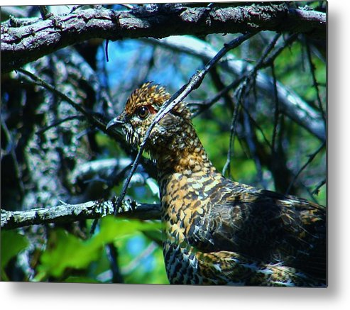 Grouse Metal Print featuring the photograph Grouse by Sarah Buechler