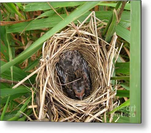 Nest Metal Print featuring the photograph Red-winged Blackbird Baby In Nest by J McCombie