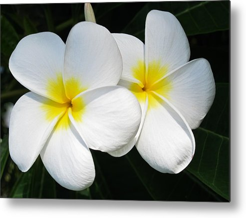 Plumeria Metal Print featuring the photograph White Plumerias by Shane Kelly