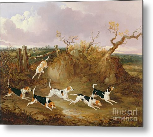 Beagles Metal Print featuring the painting Beagles In Full Cry by John Dalby