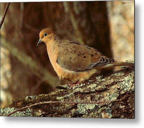 Photo Metal Print featuring the photograph Mourning Dove At Dusk by Amy Tyler