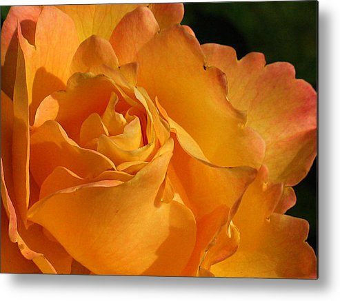 Rose Metal Print featuring the photograph Rose In Ruffles by Mg Blackstock